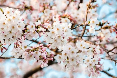 新卒といえば桜